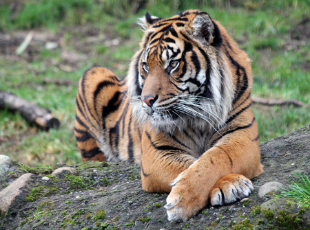 sumatran: Closeup of a Sumatran Tiger with Legs Crossed