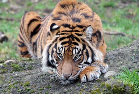 sumatran tiger: Closeup of a Sumatran Tiger Resting Stock Photo