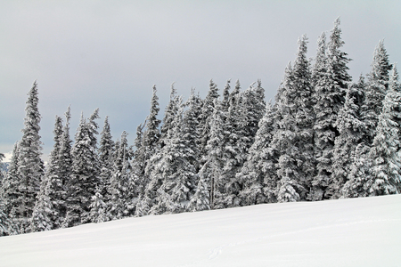 evergreen trees: Snow Covered Evergreen Trees All in a Row