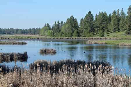 cattails: Wetland Scene with Pine Trees and Cattails Bordering a Pond