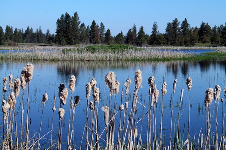 cattails: Cattails at the Waters Edge with Pine Trees in the Background