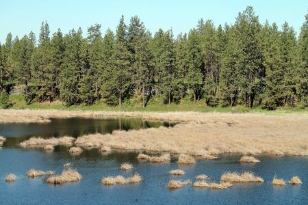 bordering: Pine Forest Bordering a Wetland Pond on a sunny spring day
