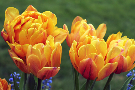 frilly: Frilly Yellow and Orange Tulips in a Flower Field
