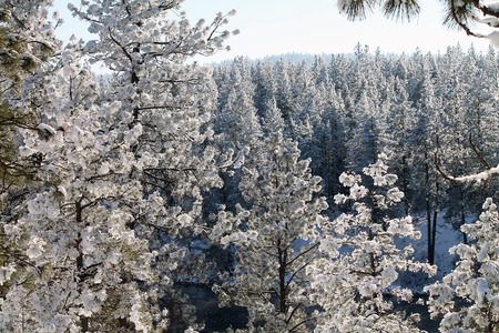 evergreen forest: Snowy Evergreen Forest in Winter Stock Photo
