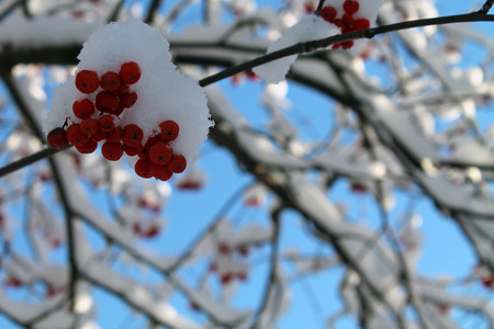 Snow Covered Red Berries in Winter Stock Photo