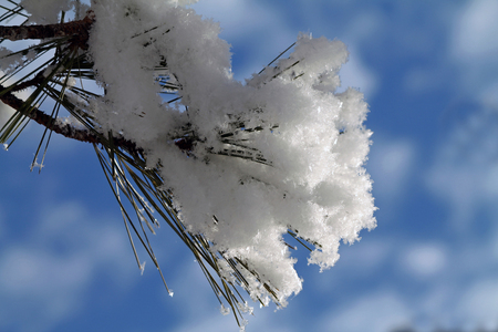 bough: Closeup of a Pine Bough Covered in Snow Against a Blue Sky