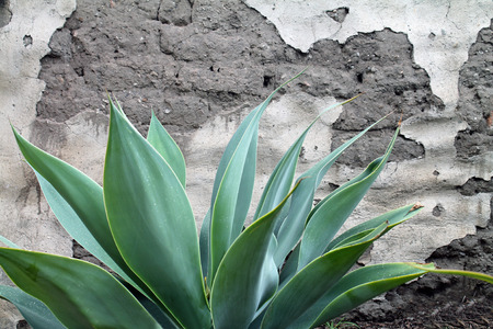 Agave Plant in front of a Grunge Wall
