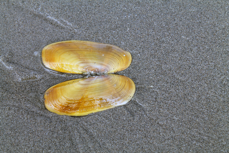 patula: Razor Clam Shell in the Sand