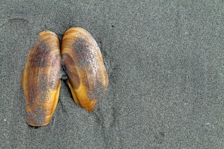 patula: Razor Clam Shell in the Sand at the Beach Stock Photo