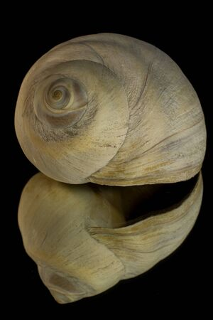 beachcomb: Reflection of a Moon Snail Shell with a Black Background