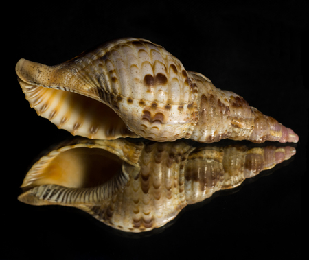 beachcomb: Reflection of a Conch Seashell with a black background