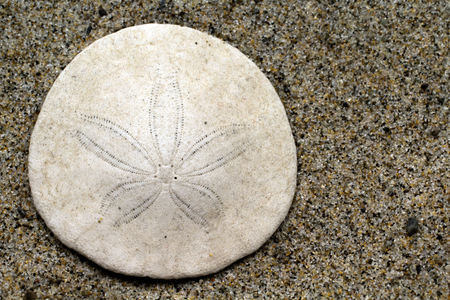 Closeup of a Sand Dollar in the sand at the beach