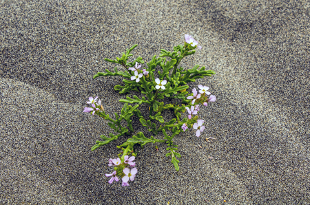 Closeup of a White Flower Growing in Sand at the Beach 스톡 콘텐츠