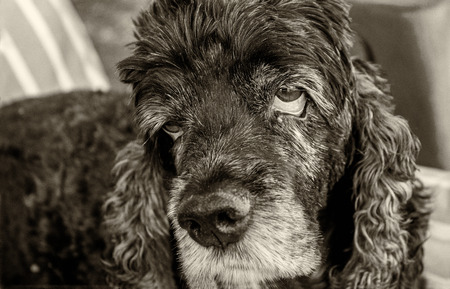 Old and Weary Cocker Spaniel with Sad Eyes in black and white