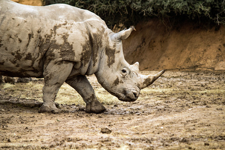 Single Rhinoceros in a rocky enclosure at the Gladys Porter Zoo, Brownsville Texas Stock Photo