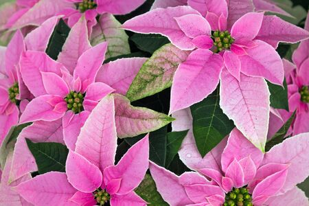 Display of  Pink Poinsettias at a Greenhouse