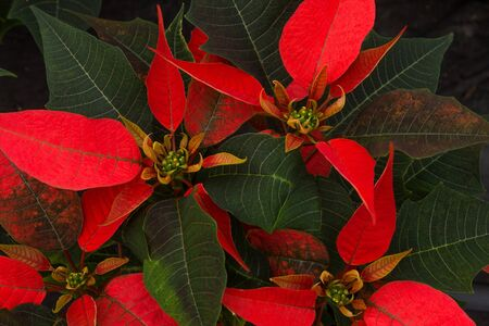 Display of Red  Poinsettias at a Greenhouse
