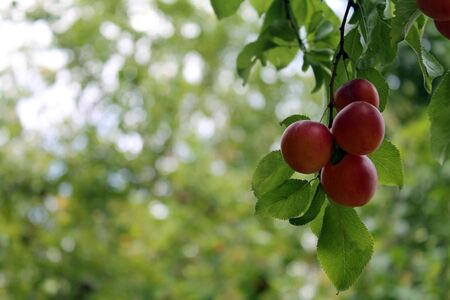 Cluster of Red Apples hanging on a tree in an orchard with bokeh background Banque d'images
