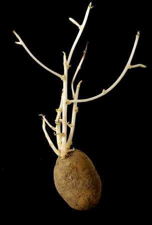 farmed:              potato plant Stock Photo
