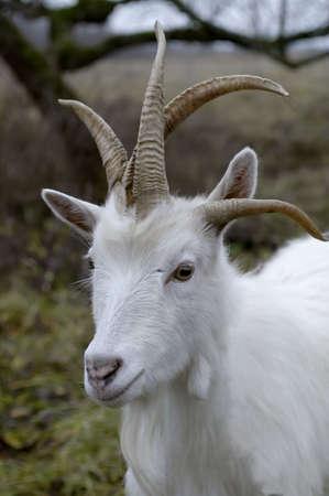aberrant:               White goat, head with four horns Stock Photo
