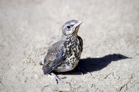 youngly: Hatch thrush                                Stock Photo