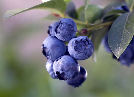 Heathberries blueberries ripening on the branch photo