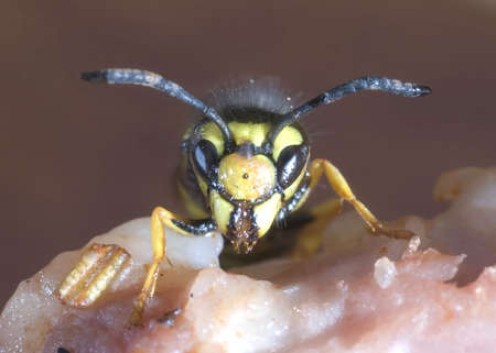 aculeata: The hornet wasp on meat