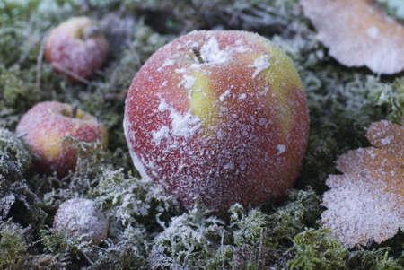 christmas apple: la mela di Natale e le foglie sono ricoperti di brina