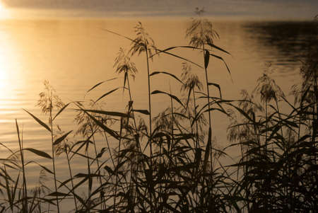 reed: The reeds on a lakesaid.