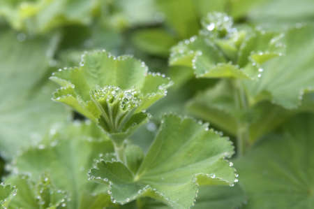 clouseup photo of Lady's Mantle photo