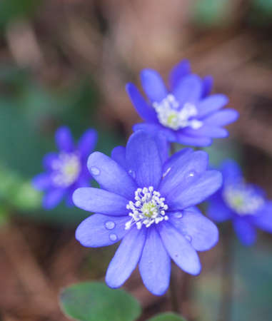 nobilis: A Hepatica nobilis in forest.