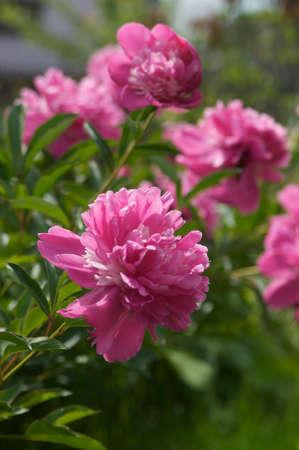 pfingstrosen: Bl�ten rosa Pfingstrosen