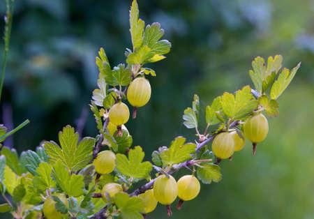 gooseberry bush: Freschi Uva spina verde su un ramo di Gooseberry Bush
