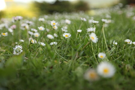 sprinkled: light green meadow sprinkled with daisies in Bavaria