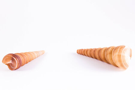 cone shaped: two orange cone shaped bivalves with brown stripes