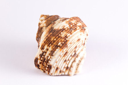 bivalve: bivalve with brown blurs on a white background