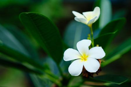 Frangipani White Tropical Aroma Flower Tree. Plumeria Blossom