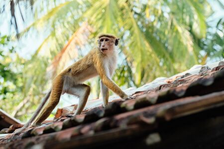 Cute Macaca Sinica Monkey. Sri Lanka Natural Fauna Wildlife. Dangerous Toque macaque Wild Primate Jungle Endemic Animal from South Asia on Forest Tree Background