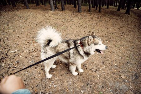 Young Girl with her Dog, Alaskan Malamute, Outdoor at Autumn. Domestic pet. Husky