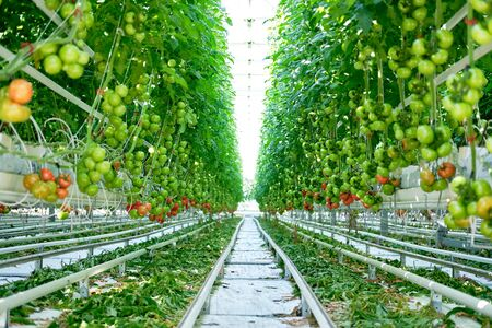 Beautiful Tomatoes Plants Grown in Greenhouse. Growing Bunch Agricultural Fresh Ripe and Unripe Natural Vegetable. Eco Organic Vegetarian Food Product Bush. Big Plantation of Raw Healthy Nutrition Zdjęcie Seryjne