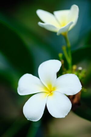 Frangipani White Tropical Aroma Flower Tree. Plumeria Yellow Blossom for Relax Zen Therapy Resort at Sri Lanka or Thai. Summer Beautiful Petal on Green Leaf. Exotic Floral Bloom Scent