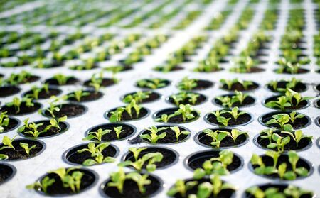 Young Plants Sprout in Potty Block Greenhouse. Green Leaves of Braird Grown in Hot House with Regulated Climatic Temperature Conditions for Growing. Raw Freshness Healthy Nutrition