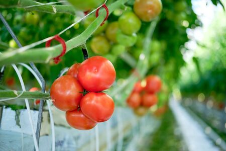 Beautiful Red Ripe Tomatoes Grown in Greenhouse. Growing Bunch Agricultural Fresh Natural Vegetable. Ecological Organic Juicy Vegetarian Food Product. Raw Freshness Healthy Nutrition