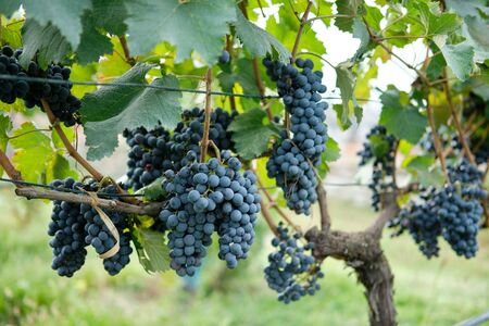 Red grapes with green leaves on the vine 免版税图像