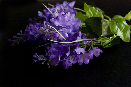 Violet autumn flowers in a dark black background