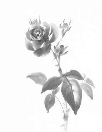 Rose flower ink painting