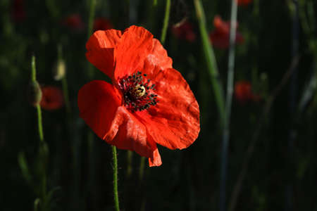 red poppy on a black background