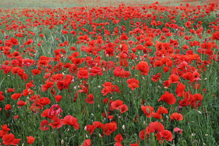 Red poppy field with a rye meadow