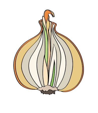 flavoring: yellow onions isolated illustration on white background Illustration