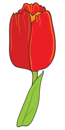 red tulip: Red tulip isolated on white background, vector